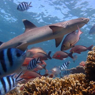 Shark spotted by our Shark Conservation volunteers in Fiji.